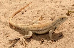 texas_lizard